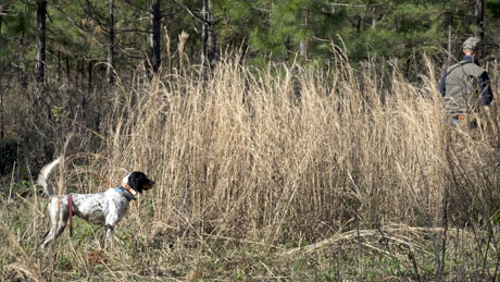 In good broom sedge cover, Jerry flushes for Roxy (Northwoods Grits x Houston's Belle's Choice, 2014). Even though not yet two years of age, Roxy runs a mature race, accurately pins birds and is steady to wing and shot.