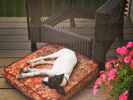 Pointers are not allowed on the furniture at our house—little dogs yes, but not bird dogs. So Murphy pulled the cushion off… ~ Tony, Minnesota, owner of Murphy (CH Elhew G Force x Northwoods Vixen, 2016)