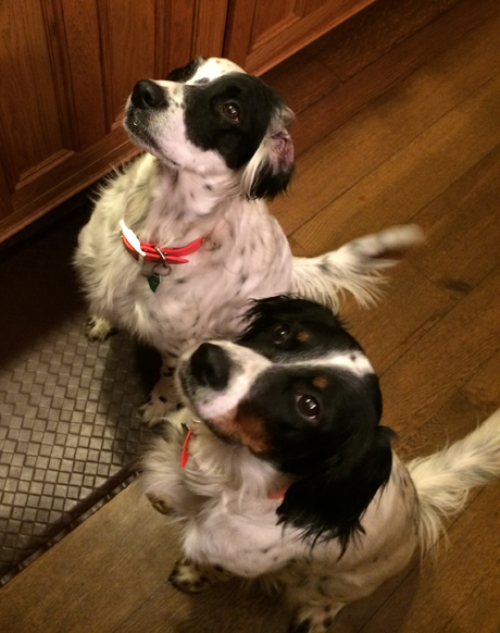 Serious beggars! Rose continues to teach Stella all the tricks! ~ Laura, Illinois owner of Rose (Blue Riptide x Blue Ghost, 2010), on left, and Stella (Northwoods Grits x Northwoods Carly Simon, 2015)