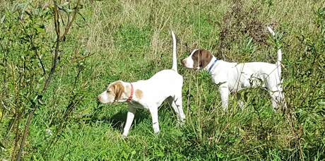 Callie, on left, and Blitzen share point on a bobwhite that landed in the willows.