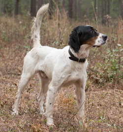 Northwoods Bird Dogs English Setter Pointer Puppies For Sale