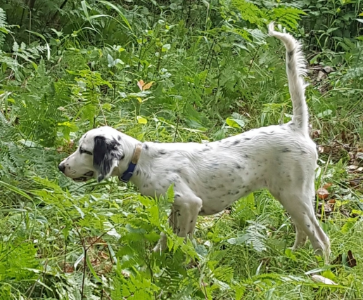 Trained Bird Dogs For Sale
