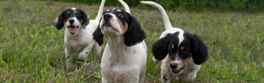 northwoods bird dogs puppies costs